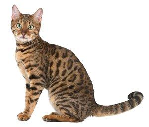 le chat du bengal wikichat