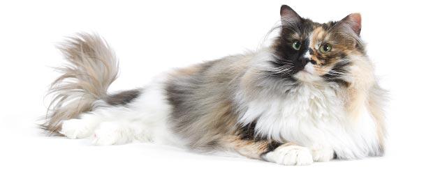 le chat norvegien wikichat